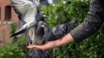 Melatih Burung Merpati Balap