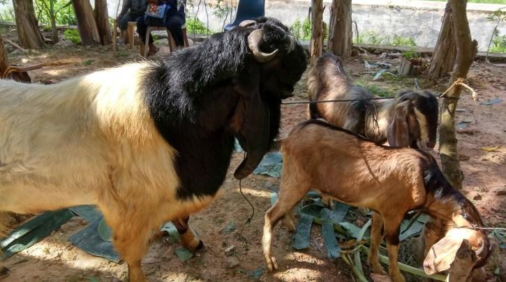 hewan qurban iedul adha 2017