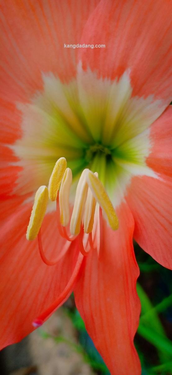 kepala sari bunga amaryllis