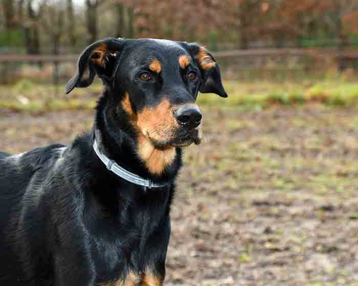Beauceron Dog Breed: Origin,Temperament, and Health Issues