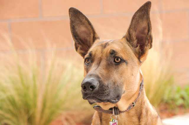 Belgian Malinois Dog : Temprament Training and Nutrition