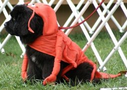Newfoundland Lobster Puppy