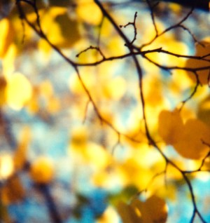 Aspen Leaves, by Elizabeth Mahler Licence