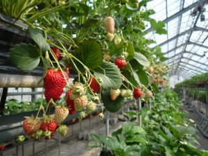 strawberries-polytunnel
