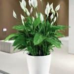 classico_ls_43_white_high-gloss_spathyphyllum