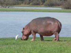 hippo-720wide