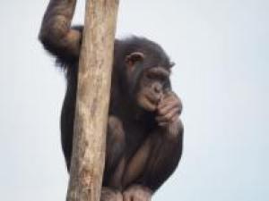 chimpanzee-720