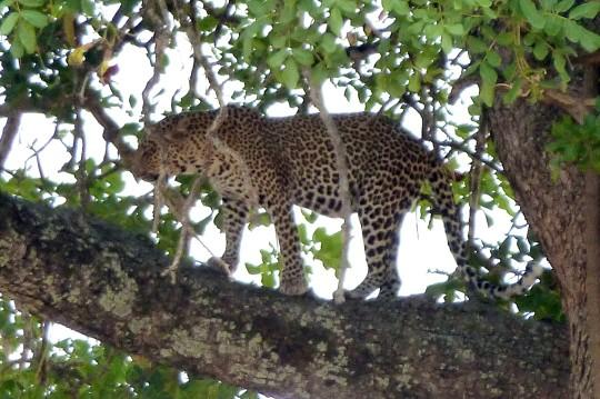 Tarangire Leopard