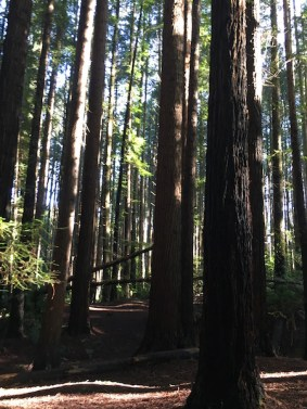 Redwood Forest, The Otways, Great Ocean Road