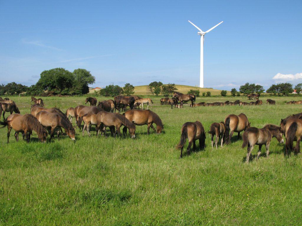 Vilde Heste Wilde Pferde 3 - Langeland_