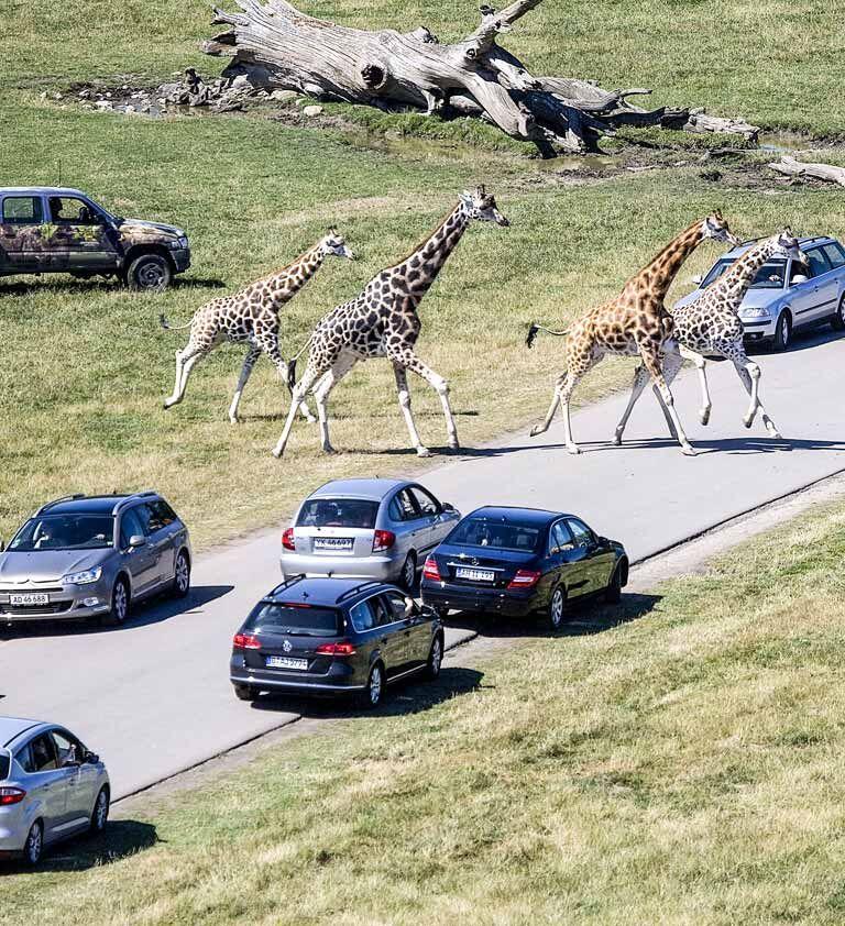 KnuthenborgSafaripark_savanne-med-biler