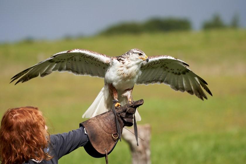Falke auf Arm