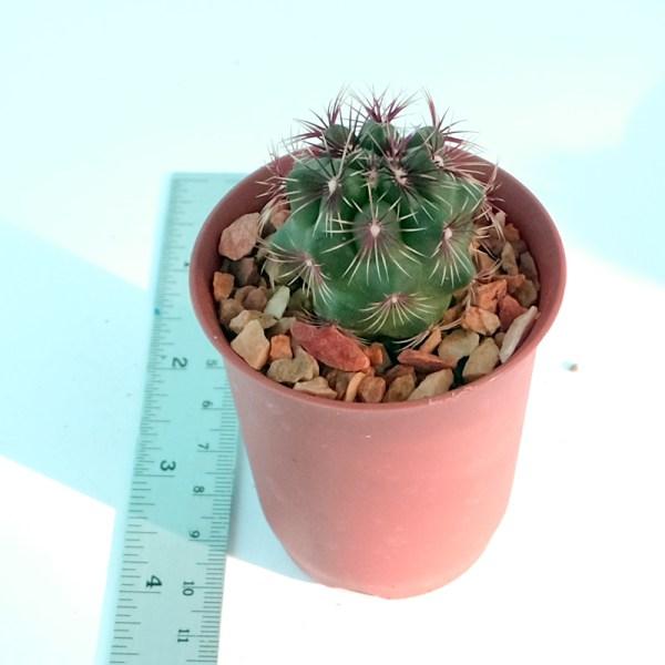 RARE Cactus Plant, Unique Pot, Container, Thelocactus Bicolor, 30-mm or 1-inch Width