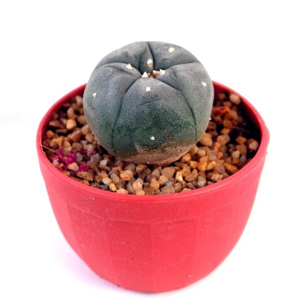 RARE Cactus Plant, Unique Pot, Container, Lophophora Williamsii, 35-mm or 1-inch Width