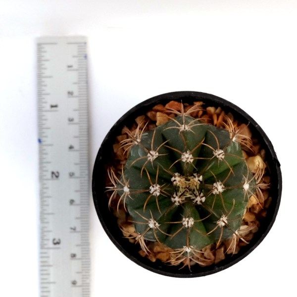 RARE Cactus Plant, Unique Pot, Container, Melocactus Matazanus, 40-mm or 1-1/2-inch Width