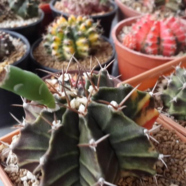 RARE Cactus Seed, Real Fresh Cactus Seed, Gymnocalycium Seed Mix, 200-600-PCS