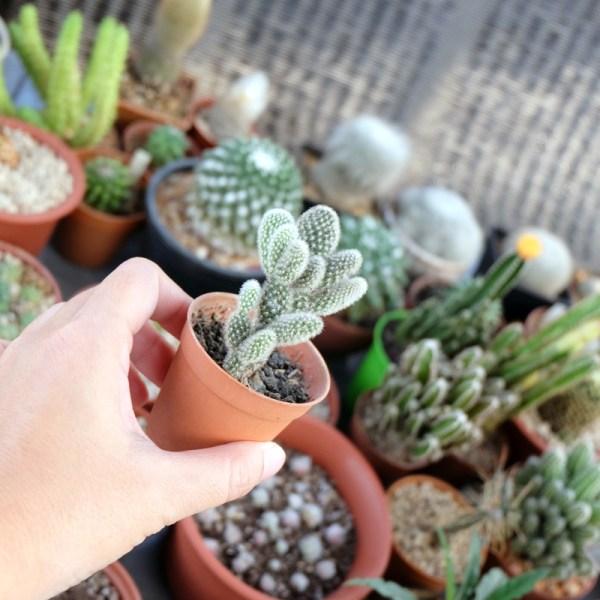 RARE Cactus Plant, Unique Pot, Container, Opuntia Microdasys(Albata), 70-mm or 3-inch Width