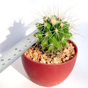 RARE Cactus Plant, Unique Pot, Container, Echinocactus Grusonii, 40-mm or 1-1/2-inch Diameter