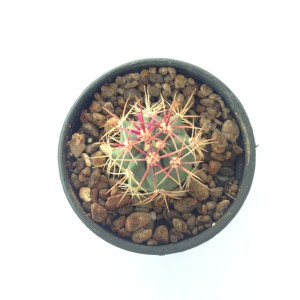RARE Cactus Plant, Unique Pot, Container, Desktop, Office, Home & Garden Decor, Ferocactus Rectispinus, 25 x 35-mm or 1 x 1-inches (W x H)