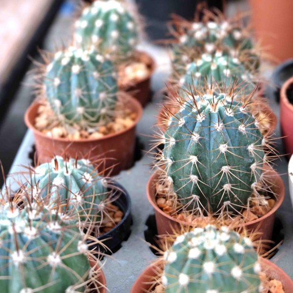 RARE Cactus Plant, Unique Pot, Container, Desktop, Office, Home & Garden Decor, Melocactus Azureus, BLUE EPIDERMIS, 50 x 60-mm or 2 x 2-1/2-inches (W x H)