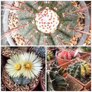 RARE Cactus Seed, Real Fresh Cactus Seed, Cactus Seed Mix, 100-PCS