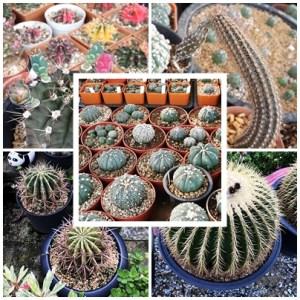 RARE Cactus Seed, Real Fresh Cactus Seed, Cactus Seed Mix, 300-PCS