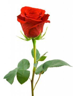14 Şubat Sevgililer Gününe Özel Kırmızı Gül
