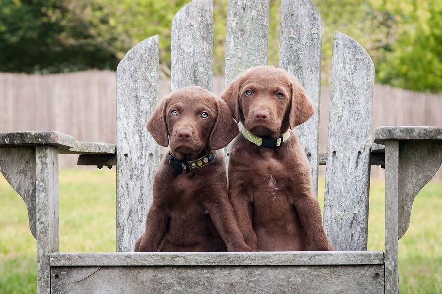 Chesapeake puppies in chair