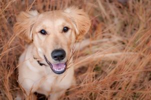 Golden puppy in fall grass