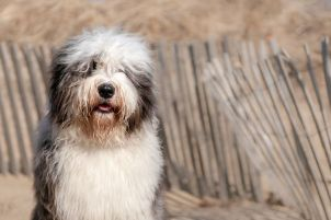 Old English Sheepdog at beach with fence