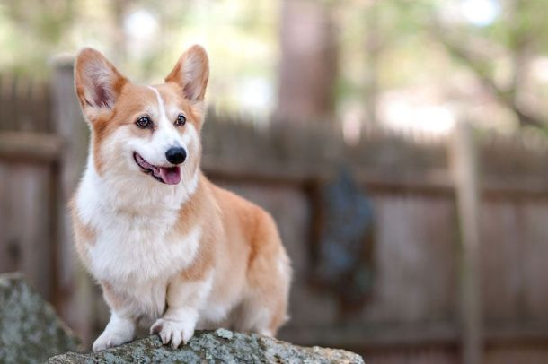 Pembroke Welsh Corgi on rock in front of fence