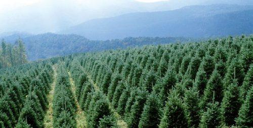 Christmas Trees - A North Carolina Tradition