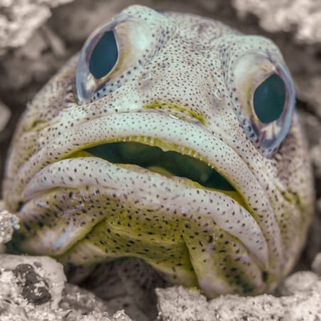 Jawfish peers up from hole