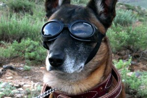 Military Service Dog, Messenger, Sentry, Scout, Patrol, Explosive Detection, Casualty, Military Working Dog