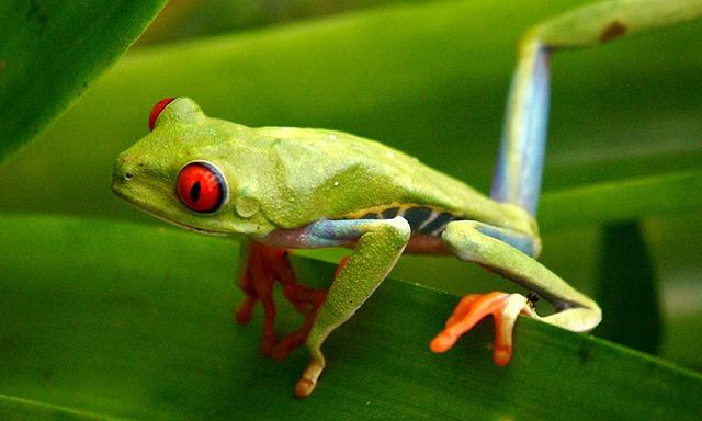 Image décorative : grenouille tropicale verte aux yeux rouges, perchée sur une feuille, regardant vers la gauche d'un air très intéressé..