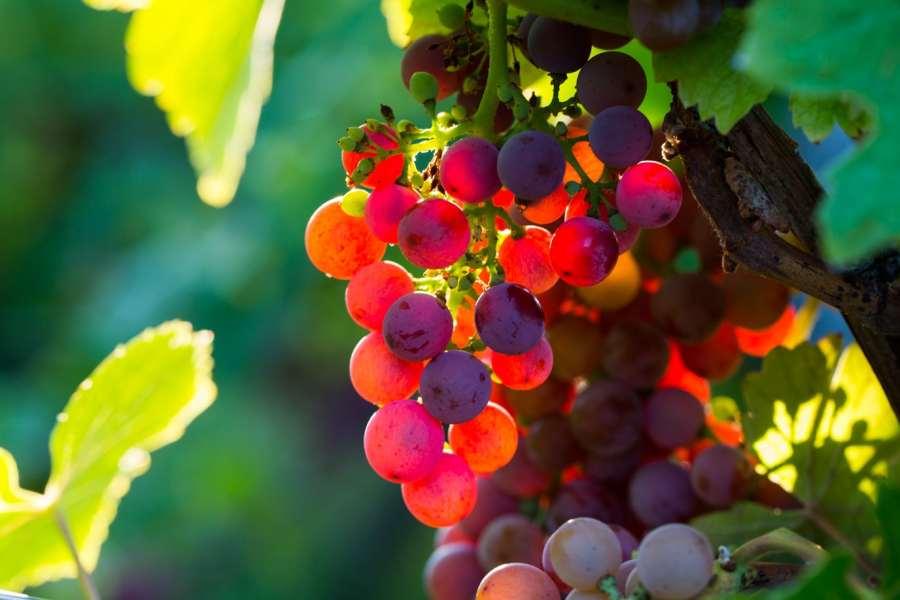 Vignoble d'Ergersheim grappe de raisin