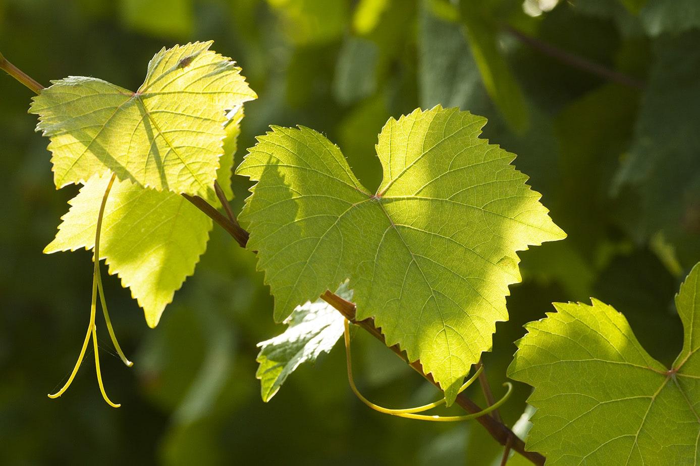 Vignoble alsacien Rosenwiller feuille