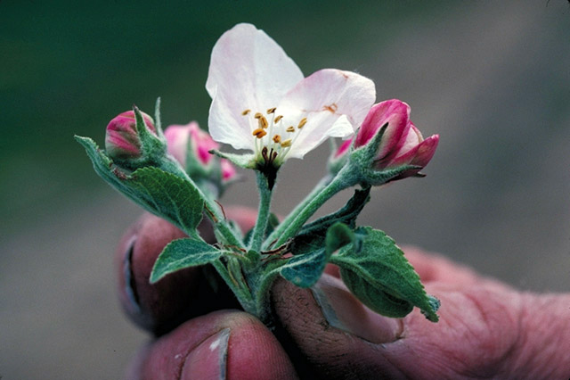apple_blossom_f us dept agriculture_1548885404006.jpg.jpg