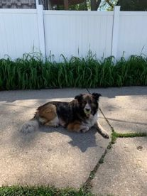 Photo of an Australian shepherd mix laying down in the sun