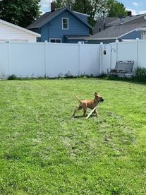 Photo of a boxer mix puppy running with a Chuck-It in her mouth, ears flying in the wind behind her