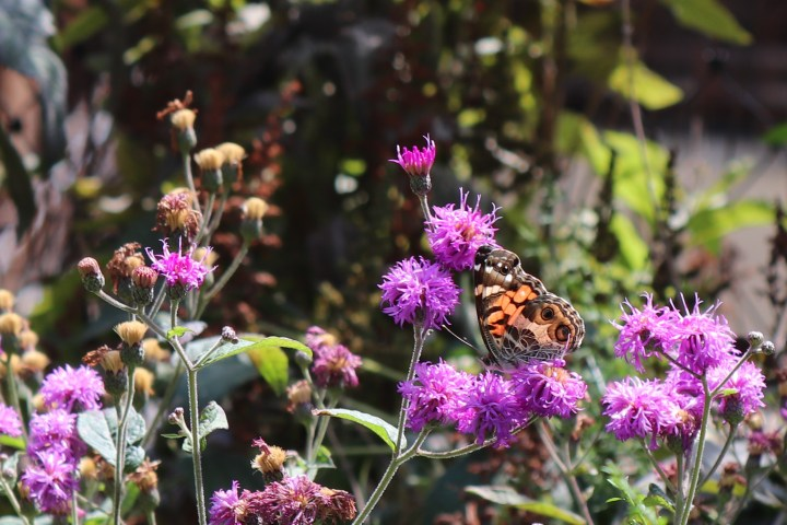 An orange butterfly on a purple flower on the New York City High Line