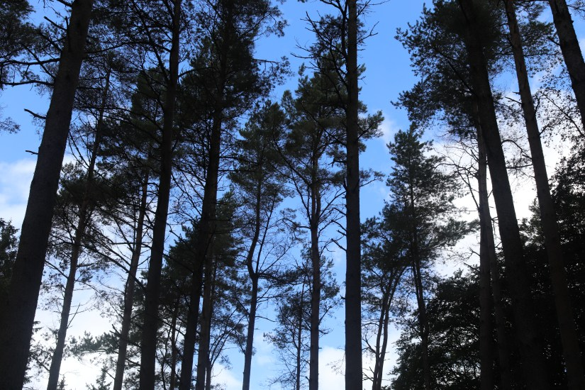 Looking upwards at the tall trees in Kielder