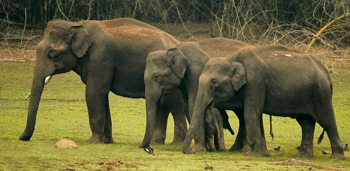 Nagarhole National Park , Family of elephants in Kabini. Image source Wiki