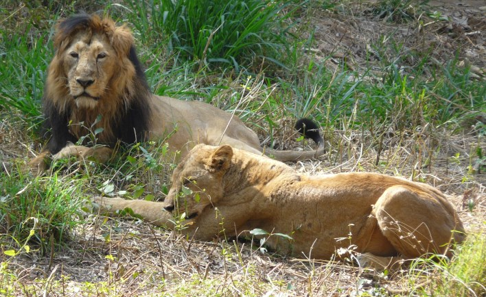 Lions at Bannerghatta National Park. Photographer Ashwin Kumar