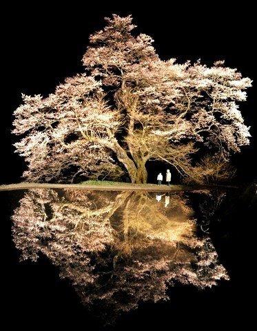 Cherry-tree-of-800-years-old-in-Achi-Nagano-Japan