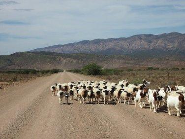 Karoo sheep on the road
