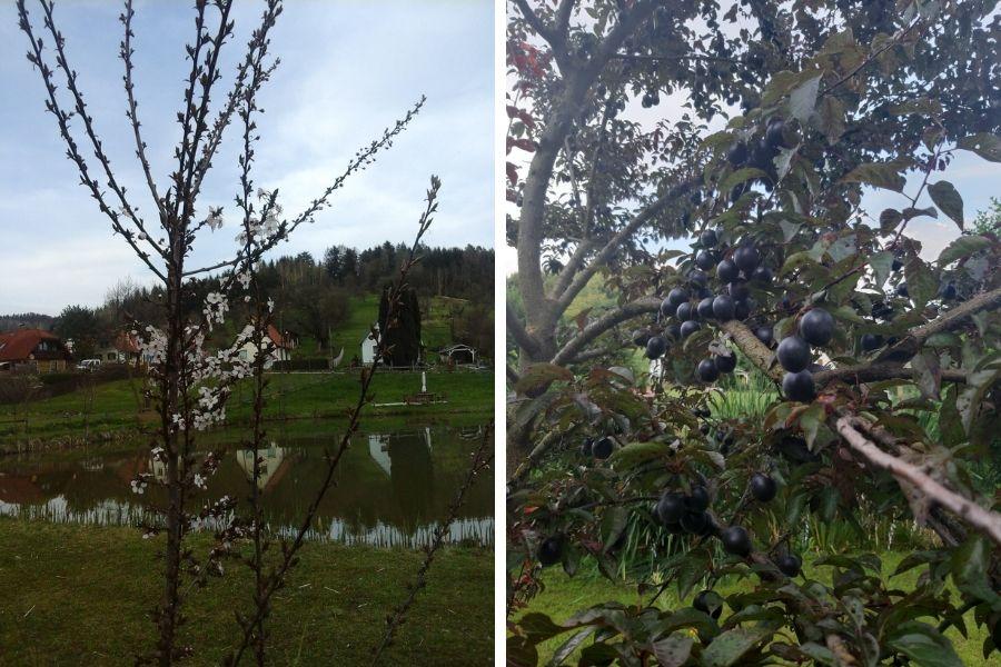 Blut-Kirsch-Pflaumen links Blüte und rechts reife Früchte