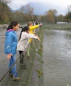 Feeding juvenile salmon (courtesy)