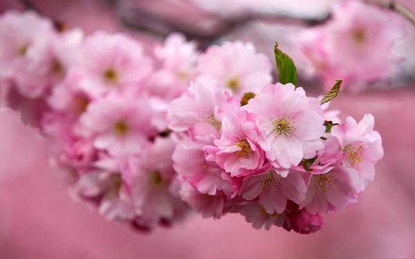 Картинка Цветы сакуры » Разные цветы » Цветы » Картинки 24 ...