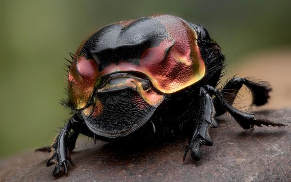 Картинка Навозный жук » Жуки » Насекомые » Животные ...